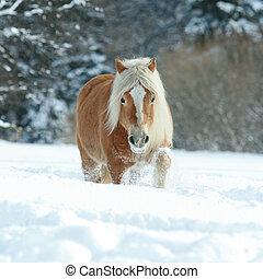 haflinger, neve, lungo, correndo, criniera, bello