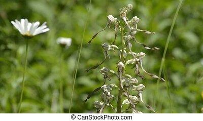 hagedis, orchidee