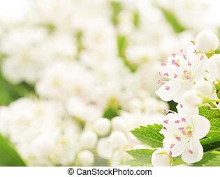 hagtorn, blomma