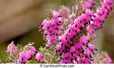 Hail falling on pink heath - Hail falling down on pink heath...