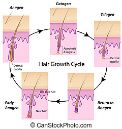Hair growth cycle, eps10 - The cycle of hair growth in human...