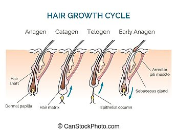 Hair growth cycle. Hair cycle, science phase hair, human...