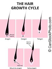 Hair structure - hair growth phase, anatomy diagram of human...