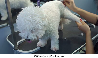 Hairdresser combs a dog Bichon Frise at the veterinary clinic.