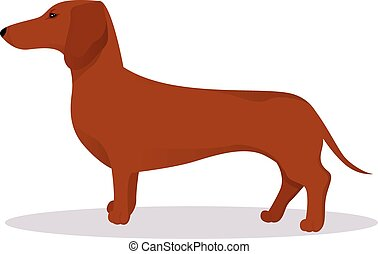 Haired dachshund