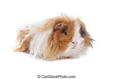 haired, guiné, longo, porca