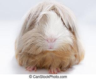 haired, guinea, largo, cerdo