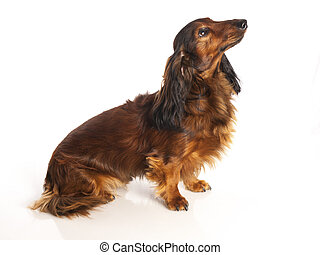haired, witte achtergrond, lang, dachshund
