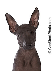 Hairless xoloitzcuintle puppy - Three month old Mexican...