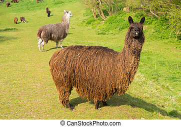 Hairy alpaca South American camelid resembles small llama ...