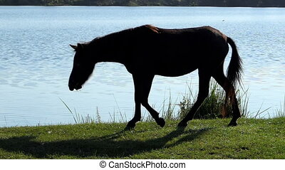 Hairy black horse goes to drink water on a lake bank in...