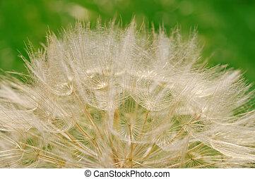 Hairy dandelion