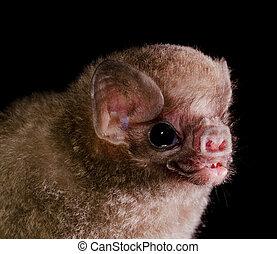 hairy-legged, chauve-souris, vampire