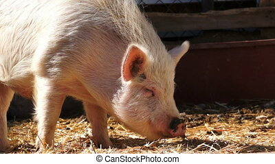 Hairy Pig at the Ranch Eating - Hairy white pig at the ranch...