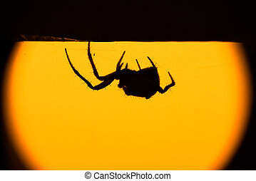 hairy spider in silhouette