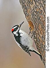 Hairy Woodpecker at tree hole - Hairy Woodpecker, female at ...