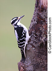 Hairy Woodpecker on a tree with a green background