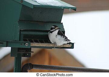 Hairy Woodpecker-Picoides villosus