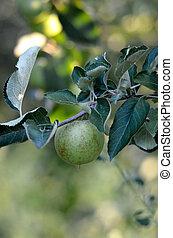 hajlandó, lenni, alma, elágazik, aratott