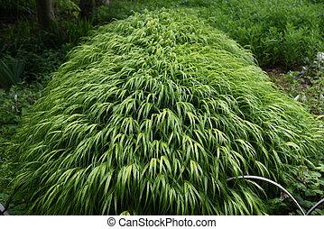 Hakonechloa macra (Hakone grass)