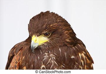 halcón de harris