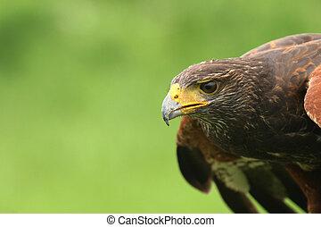 halcón, ojo
