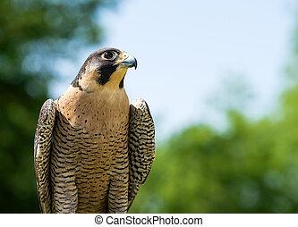 halcón, peregrine, (falco, peregrinus)