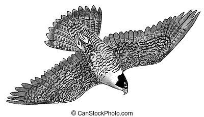 halcón, peregrine