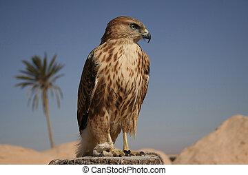 halcón, retrato