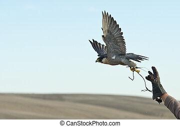 halcón, vuelo, saltar