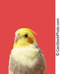 half body northern cardinal