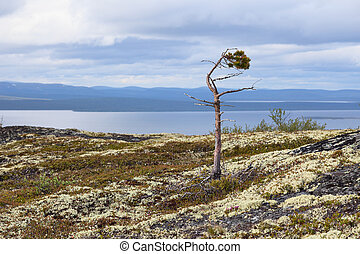 Half-dead pine at mountain top - Half-dead pine growing at...