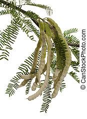 Mesquite Pods - Half Dry Mesquite Pods or Prosopis Fabaceae ...