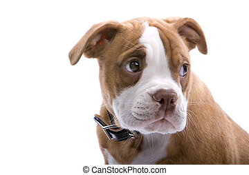 half-lenght puppy Boxer - half-length of puppy Boxer...