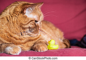 Half-Persian orange cat sitting on a couch, looking down at a little plastic yellow toy duck;