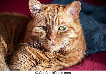 Half-Persian orange cat with green eyes sitting on a couch, looking at the camera;