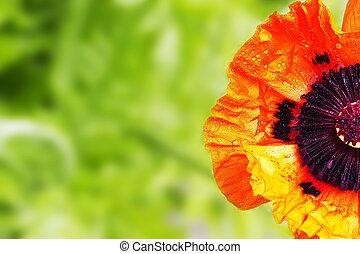 half poppy with green blur background
