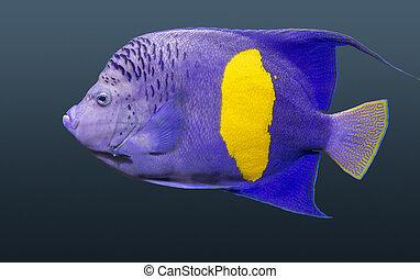 halfmoon angelfish in dark gradient back