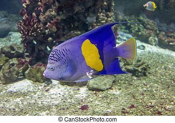 halfmoon angelfish in natural underwater ambiance