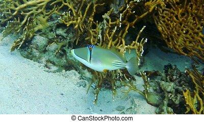 Halfmoon picassofish Rhinecanthus lunula swimming underwater...
