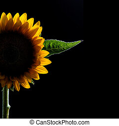 halfr of a blooming beautiful sunflower on Black background