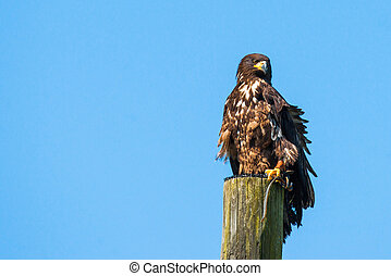 Haliaeetus albicilla eagle on the top of a wooden post