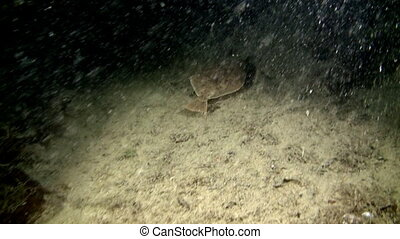 Halibut fish underwater on seabed of Barents Sea. Diving on...