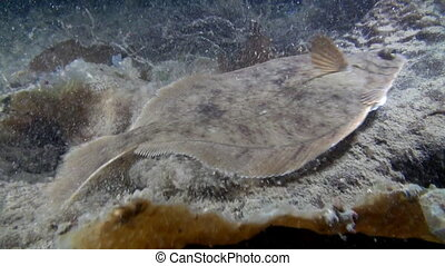 Halibut fish underwater on seabed of Barents Sea. Diving on background of blue lagoon and wildlife in Arctic ocean.