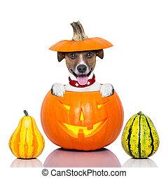 halloween, chien