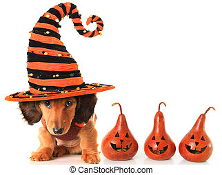 Longhair dachshund puppy, wearing a Halloween witch hat.