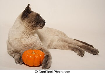 halloween, siamese