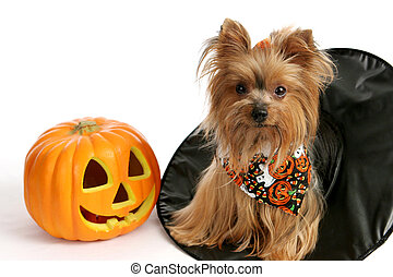 Halloween Yorkie in Witch Hat - A cute yorkie puppy sitting...