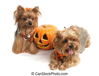 Two adorable yorkies dressed up for Halloween, posing with a jack-o-lantern. Focus on the face of the forward dog (the one on the right)