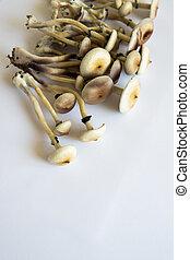 Hallucinogenic Psychedelic drug. Magic shroom. Fungi hallucinogen. Medical research of psilocybin . Psilocybin cubensis mushroom. growing Albino A strain. White background. Fresh Psilocybin shroom.